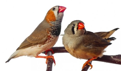 zebra finches are good research model for auditory function