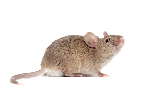 Mouse study reveals contributor to hearing loss