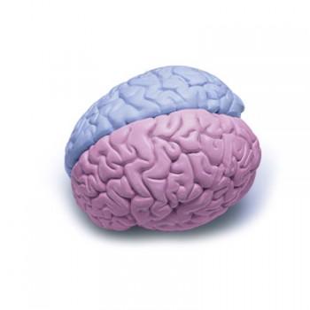 brain-gender