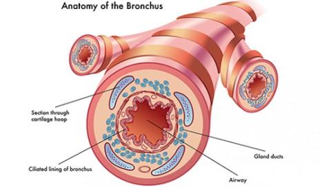 bronchus-500