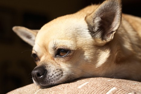 Myth Busting Chihuahuas Can T Cure Asthma Rt