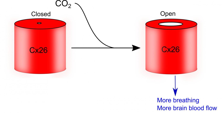 [Image: Cx26molecule.jpg]